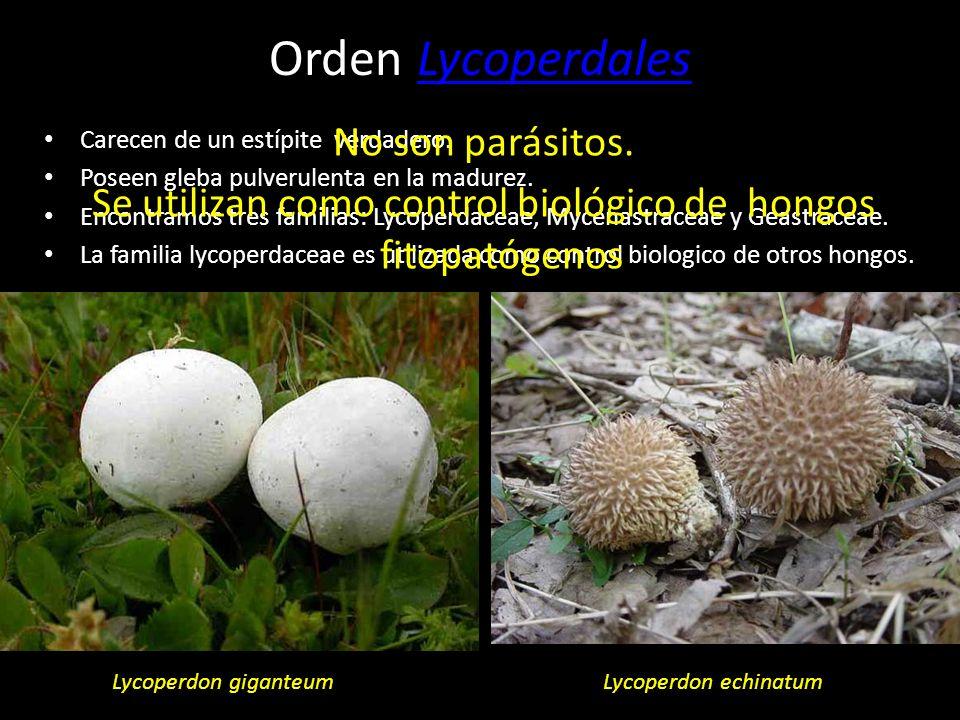 Se utilizan como control biológico de hongos fitopatógenos