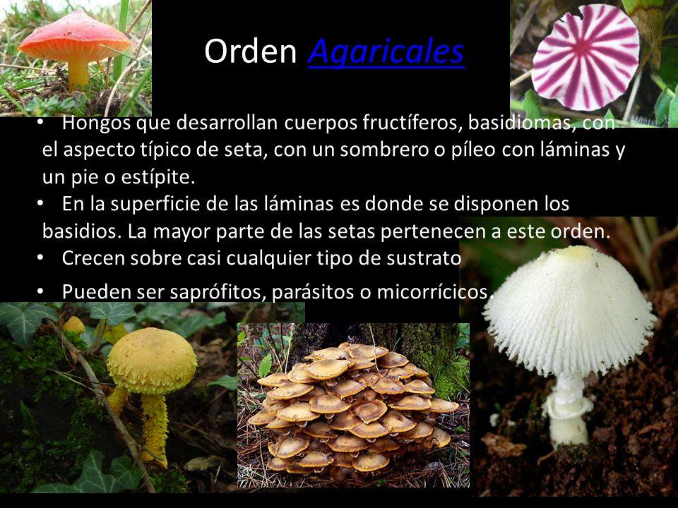 Orden Agaricales