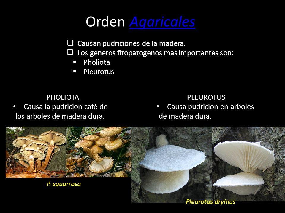 Orden Agaricales Causan pudriciones de la madera.
