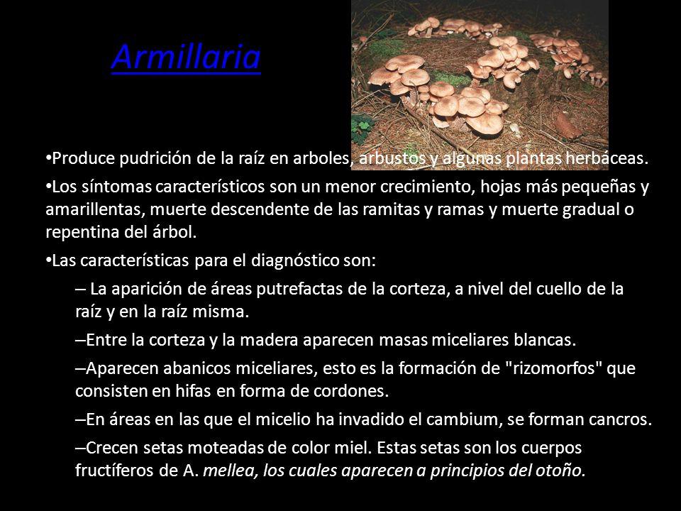 Armillaria Produce pudrición de la raíz en arboles, arbustos y algunas plantas herbáceas.