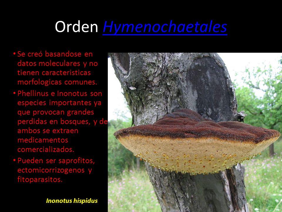 Orden Hymenochaetales