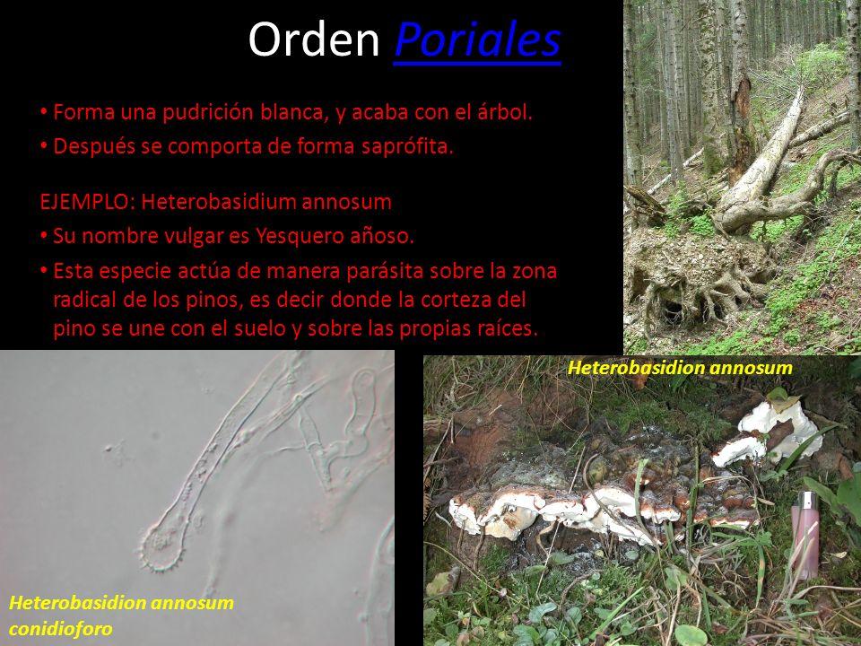 Orden Poriales Forma una pudrición blanca, y acaba con el árbol.