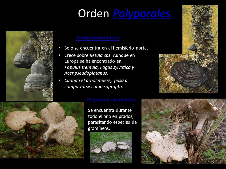 Orden Polyporales Fomes fomentarius Polyporus rhizophilus