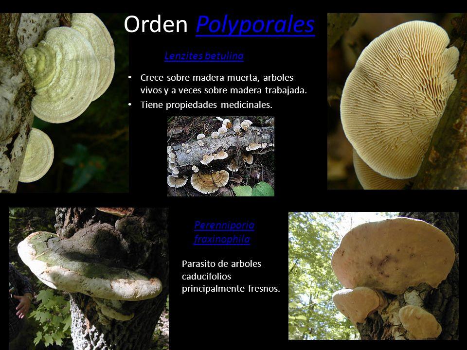 Orden Polyporales Lenzites betulina Perenniporia fraxinophila