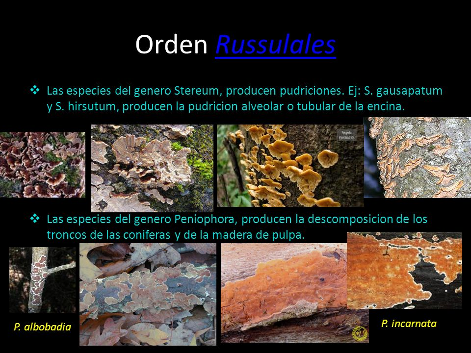 Orden Russulales