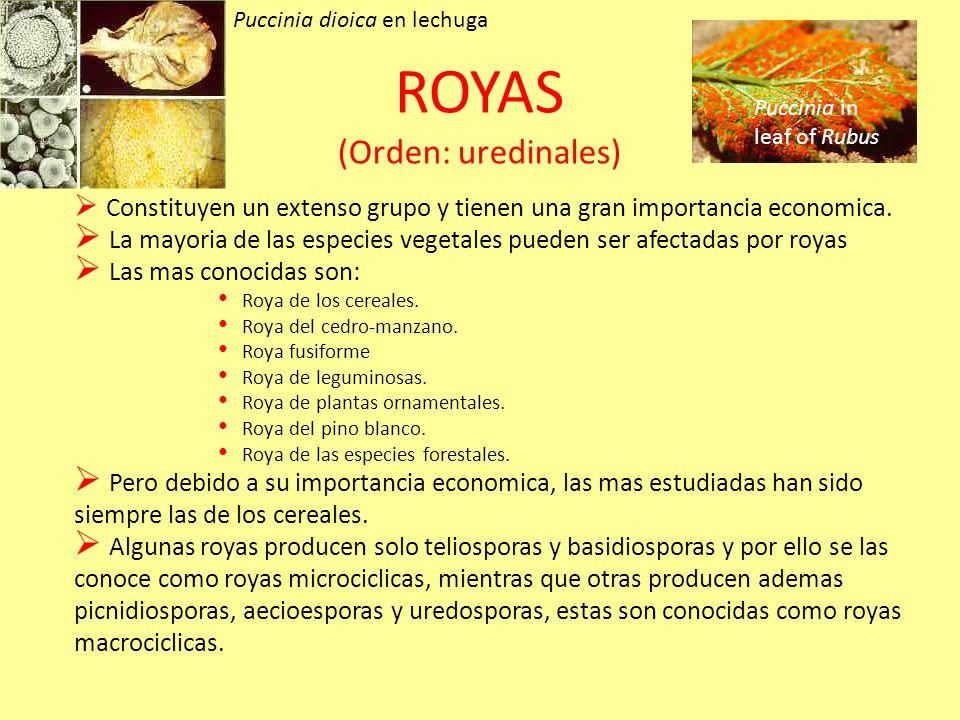 ROYAS (Orden: uredinales)