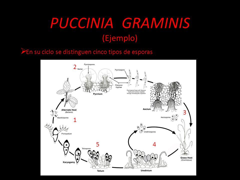 PUCCINIA GRAMINIS (Ejemplo)
