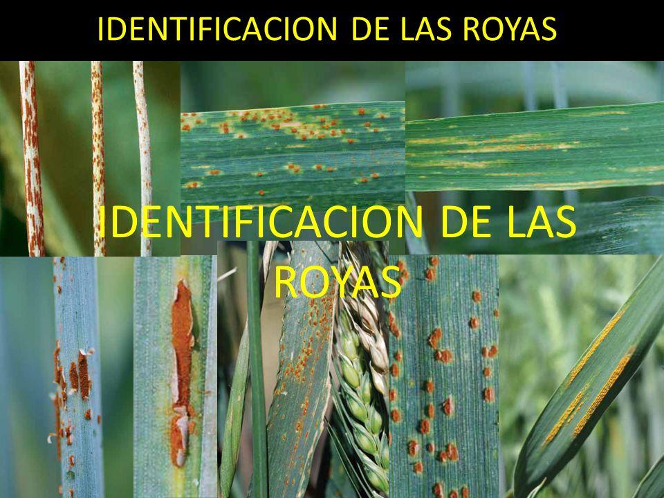 IDENTIFICACION DE LAS ROYAS