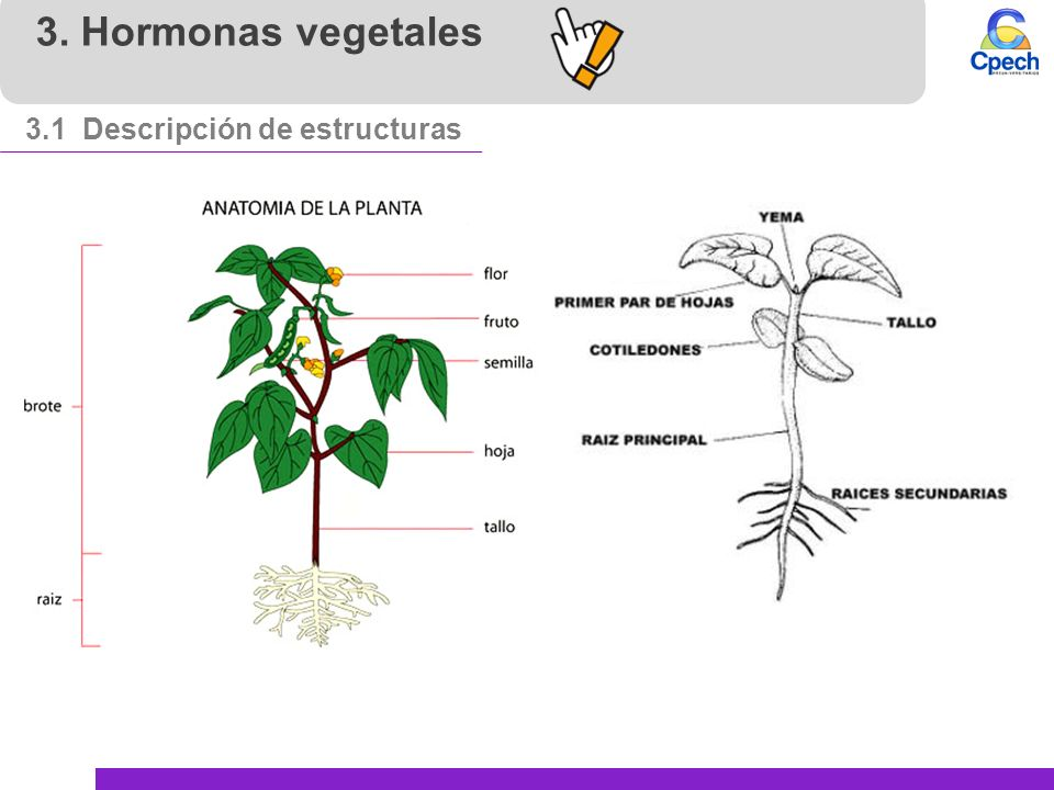 Concepto de hormona hormonas animales y vegetales ppt for Hormonas en las plantas