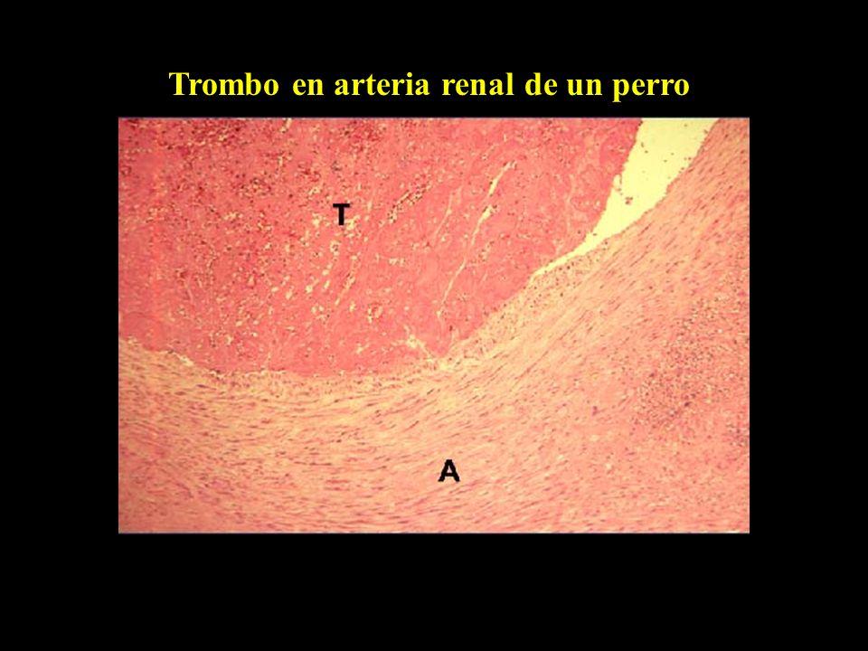 Trombo en arteria renal de un perro