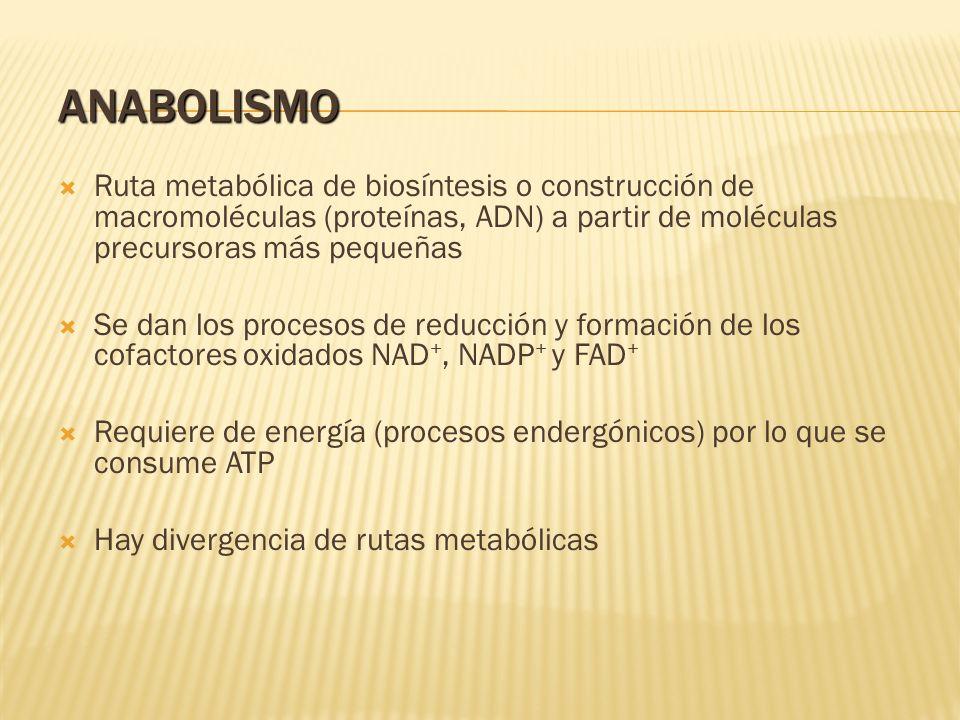 ANABOLISMO Ruta metabólica de biosíntesis o construcción de macromoléculas (proteínas, ADN) a partir de moléculas precursoras más pequeñas.