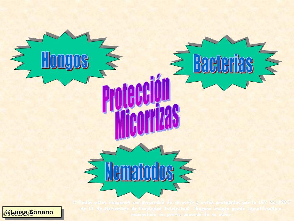 Hongos Bacterias Protección Micorrizas Nematodos ©SORIANO
