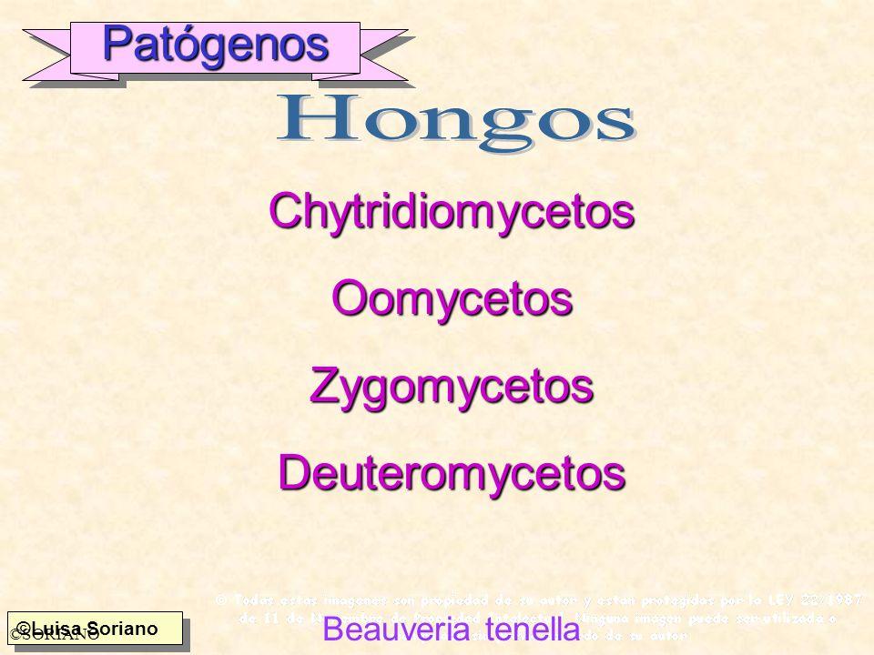 Patógenos Chytridiomycetos Oomycetos Zygomycetos Deuteromycetos Hongos