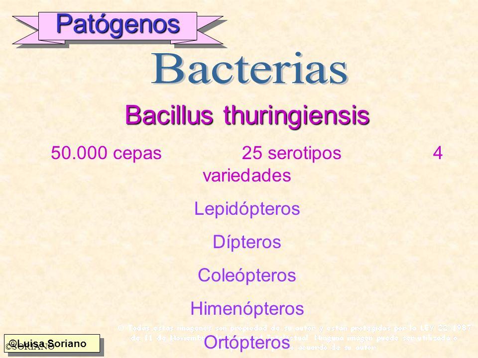 Bacillus thuringiensis