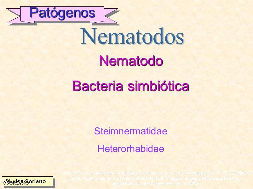 Patógenos Nematodo Bacteria simbiótica Nematodos Steimnermatidae