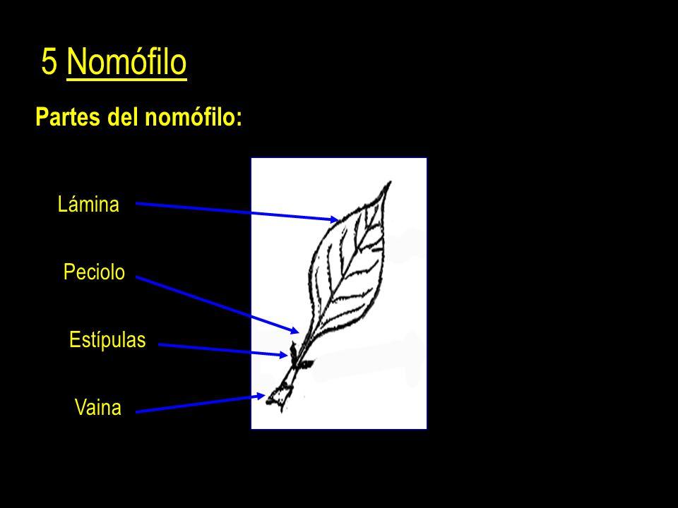 5 Nomófilo Partes del nomófilo: Lámina Peciolo Estípulas Vaina