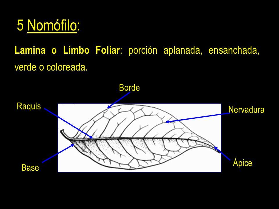 5 Nomófilo: Lamina o Limbo Foliar: porción aplanada, ensanchada, verde o coloreada. Borde. Raquis.