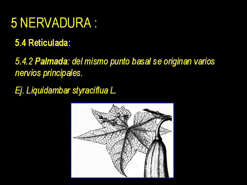 5 NERVADURA : 5.1 Uninervia: un único nervio = Raquis