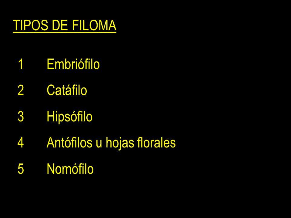 TIPOS DE FILOMA 1 Embriófilo 2 Catáfilo 3 Hipsófilo 4 Antófilos u hojas florales 5 Nomófilo