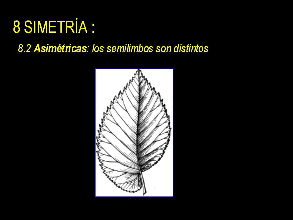 8 SIMETRÍA : 8.1 Simétricas: nervio medio divide la lamina en dos semilimbos iguales.