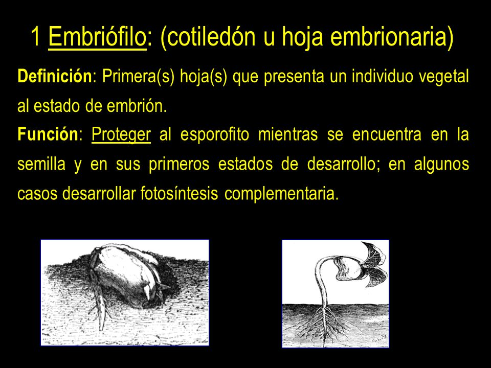 1 Embriófilo: (cotiledón u hoja embrionaria)