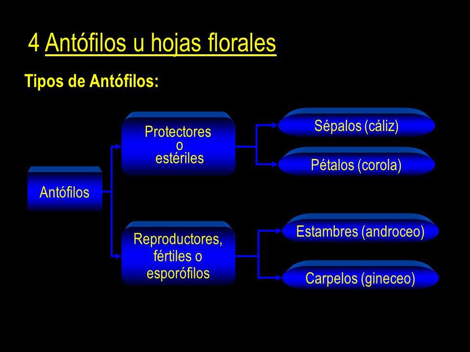 4 Antófilos u hojas florales