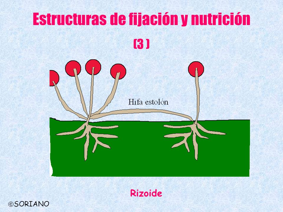 Estructuras de fijación y nutrición