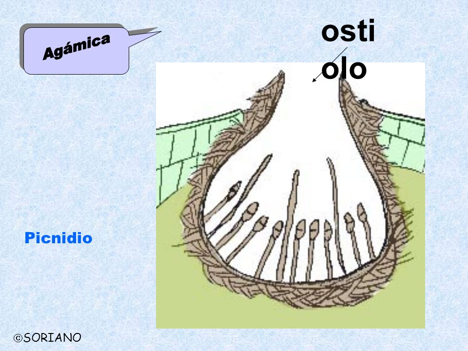 ostiolo Agámica Picnidio SORIANO