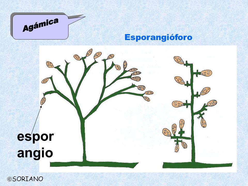 Agámica Esporangióforo esporangio SORIANO