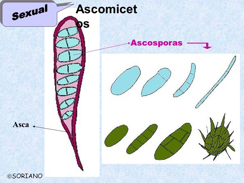 Ascomicetos Sexual Ascosporas Asca SORIANO