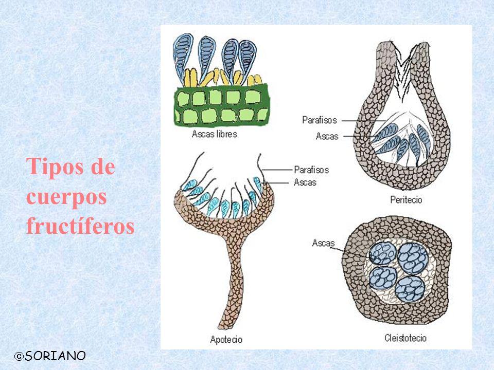 Tipos de cuerpos fructíferos