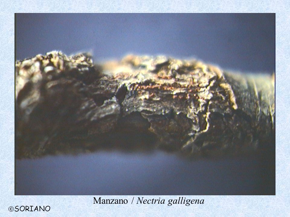 Manzano / Nectria galligena