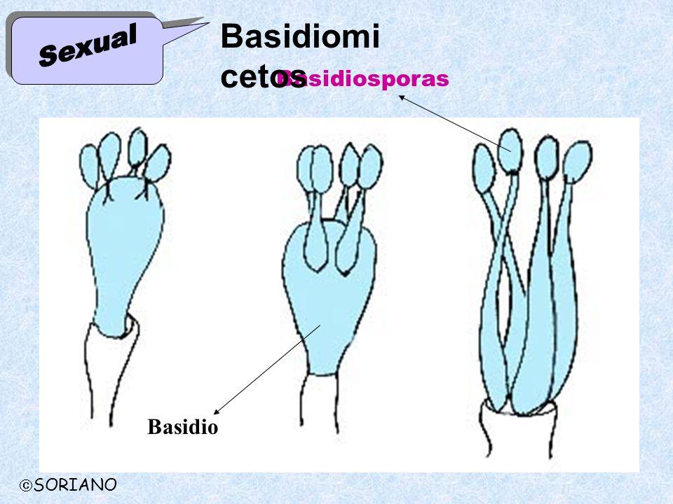 Basidiomicetos Sexual Basidiosporas Basidio SORIANO