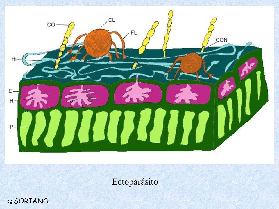 Ectoparásito SORIANO