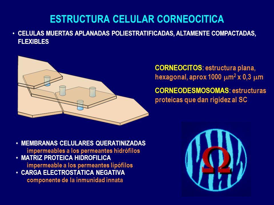 ESTRUCTURA CELULAR CORNEOCITICA