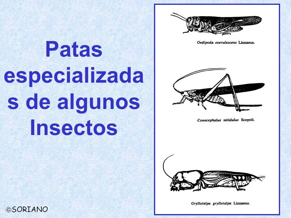 Patas especializadas de algunos Insectos