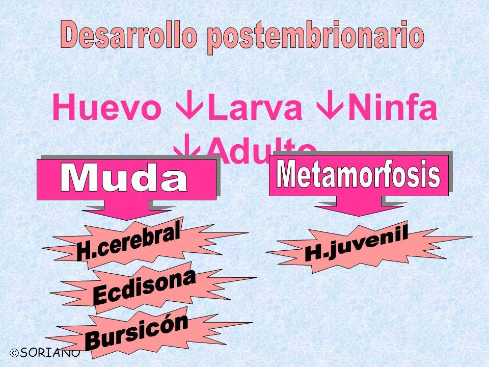 Desarrollo postembrionario Huevo Larva Ninfa Adulto