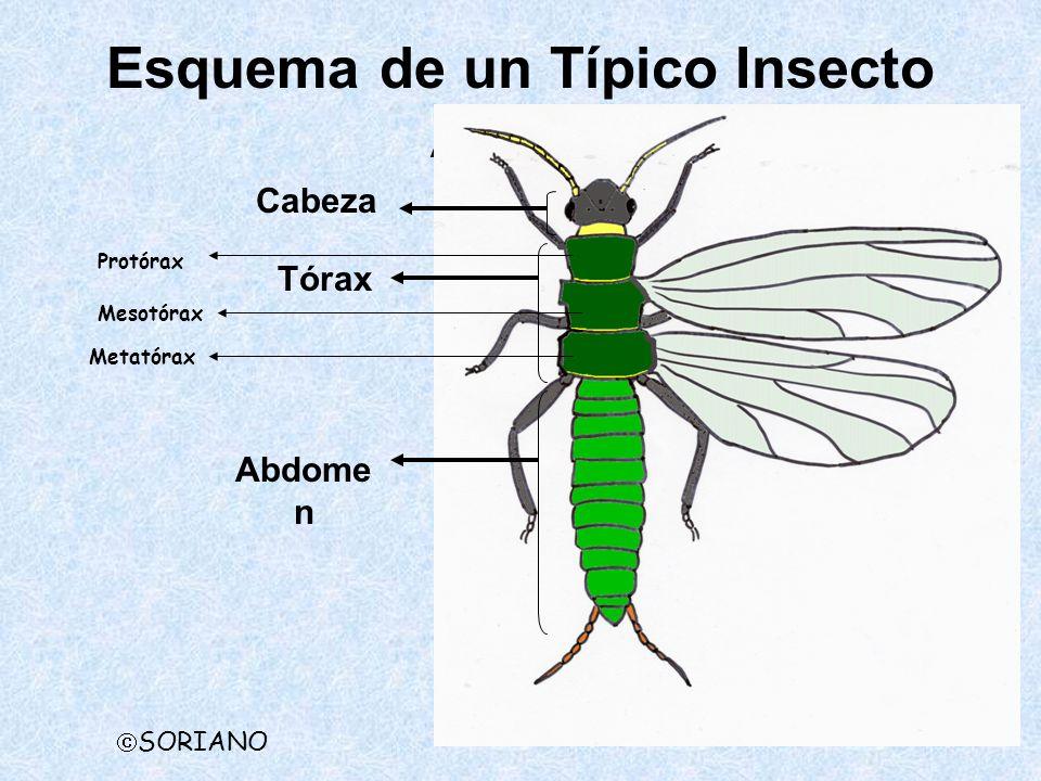 Esquema de un Típico Insecto Adulto