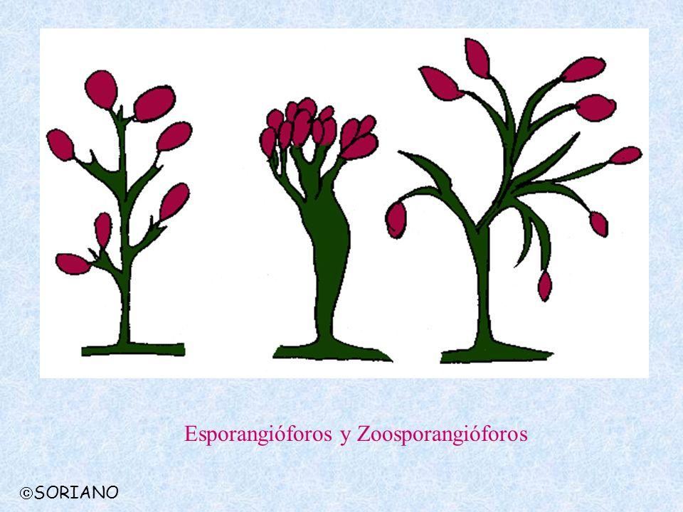 Esporangióforos y Zoosporangióforos