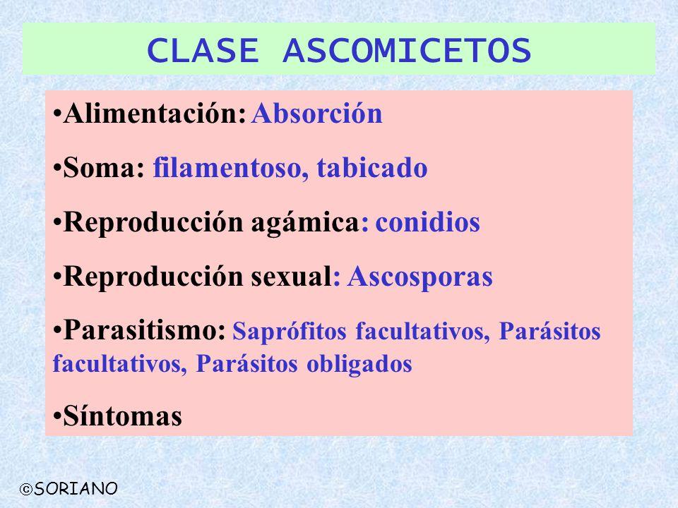 CLASE ASCOMICETOS Alimentación: Absorción Soma: filamentoso, tabicado