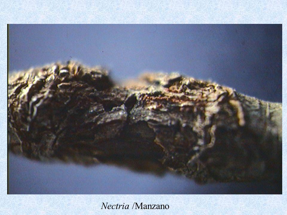 Nectria /Manzano