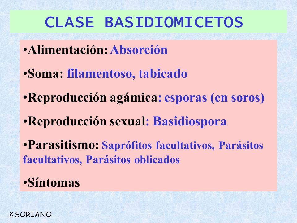 CLASE BASIDIOMICETOS Alimentación: Absorción