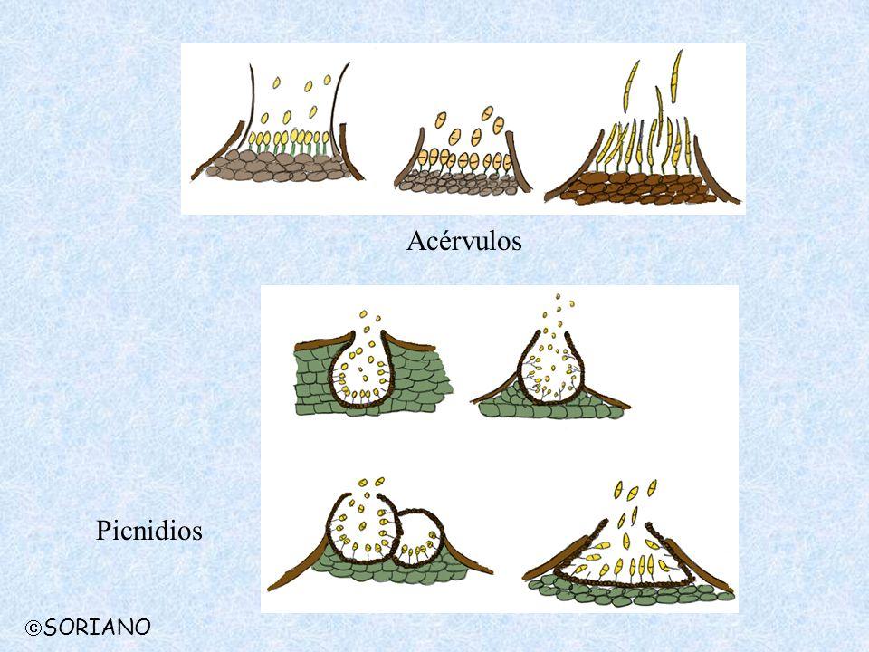 Acérvulos Picnidios SORIANO