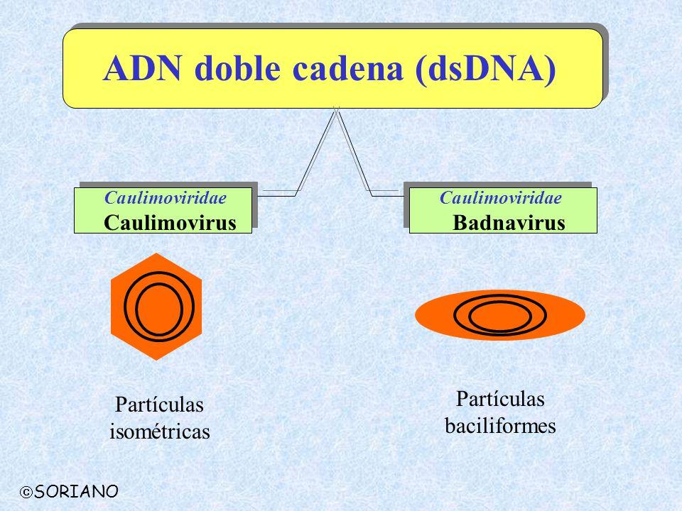 ADN doble cadena (dsDNA)