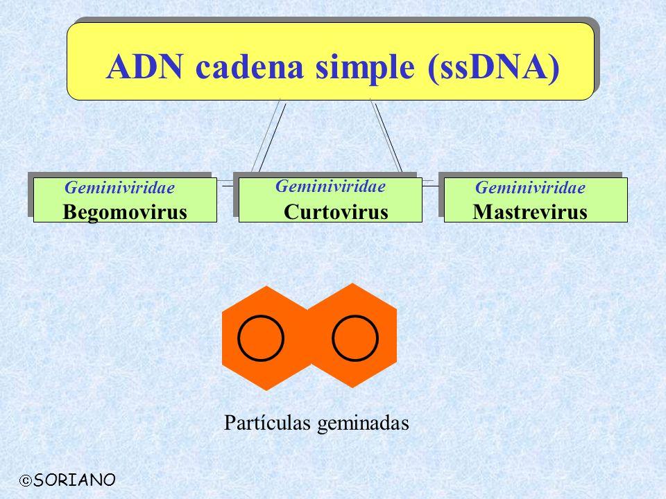 ADN cadena simple (ssDNA)