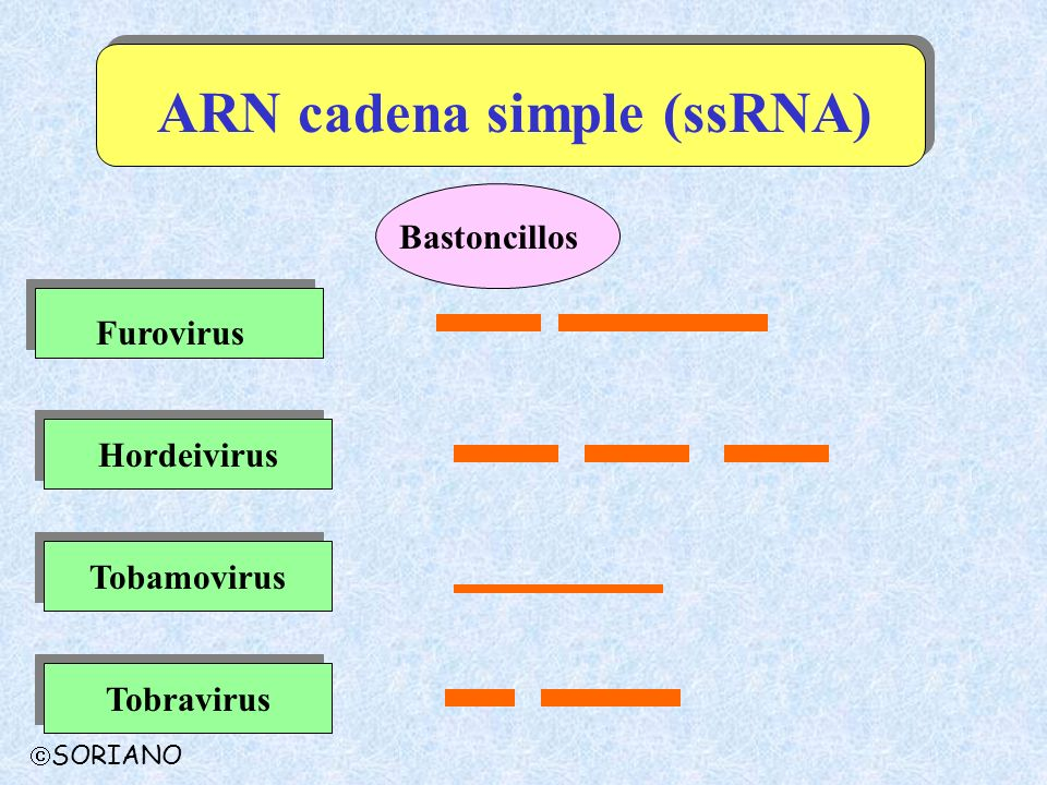 ARN cadena simple (ssRNA)