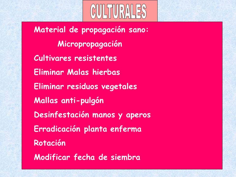 CULTURALES Material de propagación sano: Micropropagación