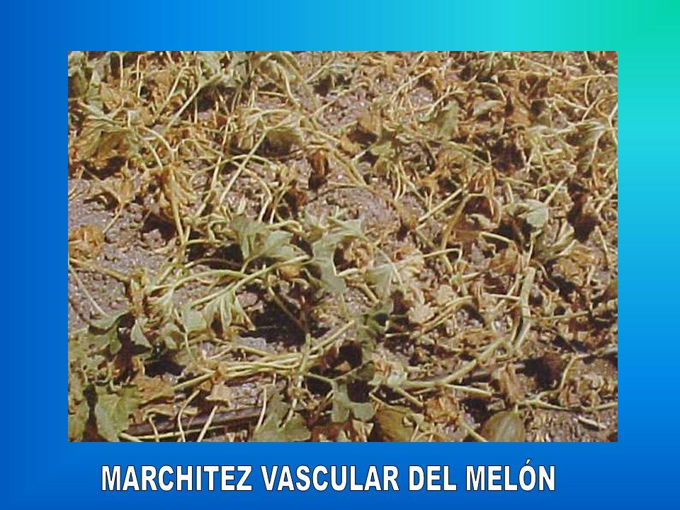 MARCHITEZ VASCULAR DEL MELÓN