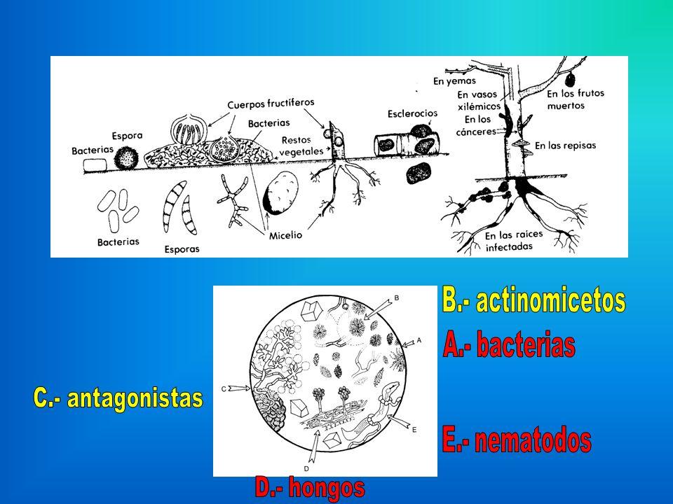 B.- actinomicetos A.- bacterias C.- antagonistas E.- nematodos D.- hongos