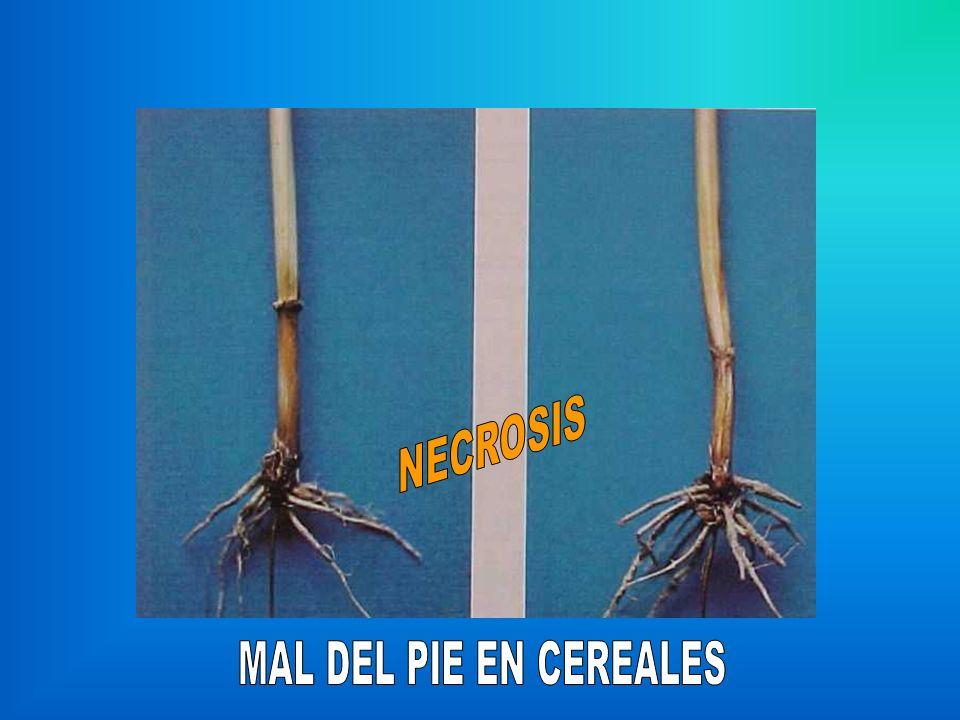 NECROSIS MAL DEL PIE EN CEREALES